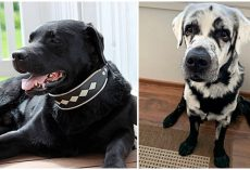 Man Was Boggled When His Healthy Black Labrador Began Turning White