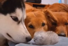 The Dogs Gather Around To Welcome The Newborn Kitten To The World