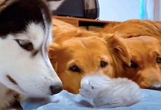 Dogs Meet Their Newest Kitten Sibling For First Time & Can't Get Enough Of Her