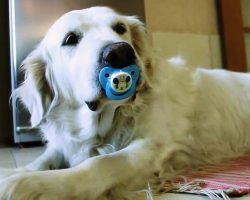 Dad Tries To Retrieve Pacifier From Dog But Finds Out Dog Is Too Attached To It