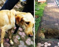 Dog Cries For Help From A Flooded Sewer After Owner Throws Her Down A Manhole