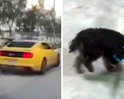 Tiny Dog Tossed Out Of Moving Car Gets Run Over By Van, He Hops In Pain & Prays