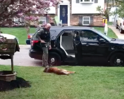 Jango The K9 Won't Leave For Work Until Dad Rubs His Belly