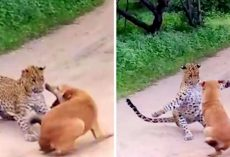 Leopard Sees Dog Sleeping & Pounces On Him, Dog Has Mere Seconds To Save His Life