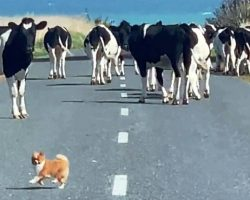 """Over-Confident Tiny Dog Tries To """"Herd"""" Loose Cows But Gets Surrounded By Them"""
