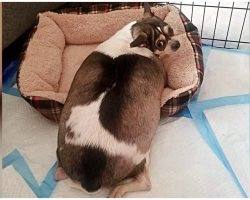 Overweight, Disabled Chihuahua Was Locked In Crate & Abandoned On Highway