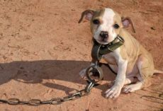 Timmy Was Found During One Of The Biggest Dog Fighting Ring Raids In History