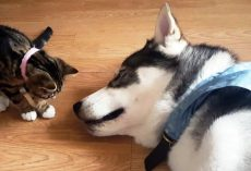 Mom Gets Nervous As New Kitten Approaches Sleeping Husky & Tries To Kiss Him