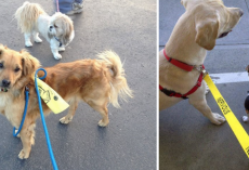 What It Means When You See Dogs Wearing Yellow Ribbons Or Leashes