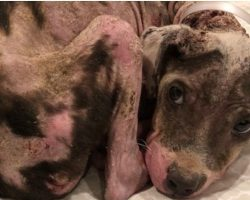 12-lb Bald Pit Bull Puppy With Padlock Around Her Neck Found Wrapped To A Tree