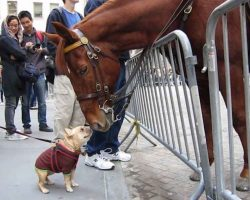 French Bulldog Ecstatic When Meeting Police Horse