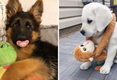 10+ Cutest Photos Of Dogs And Their Favorite Stuffies
