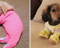 10+ Heartwarming Pics Of Adorable Pups In Pajamas To Make You Smile