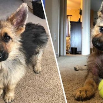 This Adorable German Shepherd Will Stay This Tiny For The Rest Of His Life