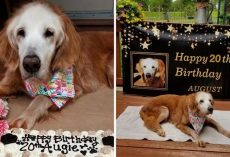 20-Year-Old Augie Becomes Oldest Golden Retriever In The World