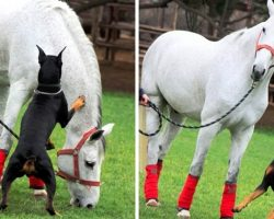 """Doberman Becomes A """"Horse Whisperer"""" & Volunteers To Protect His Favorite Horse"""