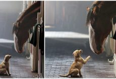 Budweiser's Back: Clydesdale & Labrador Puppy Reunite In New Heartfelt Commercial