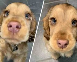 Cocker Spaniel With Irresistible, Hazel-Colored Eyes Looks Like A Real-Life Disney Character