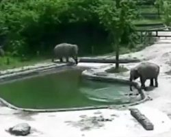 Elephants See Little Calf Drowning & Selflessly Jump Into The Water To Save Him