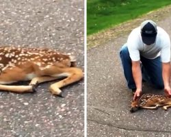 Man Sees Fawn With Twisted Limbs Frozen On The Road As Cars Keep Speeding By