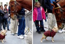 "Overexcited Frenchie Thinks Police Horse Is A ""Huge Dog"" & Begs Him To Play"