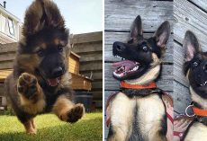 10+ Pics Of German Shepherd To Put A Smile On Your Face
