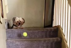 "Dog Sees Ball Bouncing Down The Stairs & Gets Idea For A Brilliant New ""Game"""