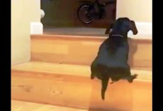 Dachshund Dramatically Struggles To Climb Up The Stairs But She Doesn't Give Up
