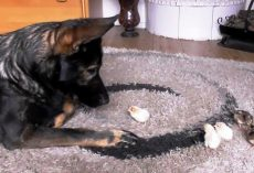 Gentle German Shepherd Assures Newly Hatched Chicks That He Will Look After Them