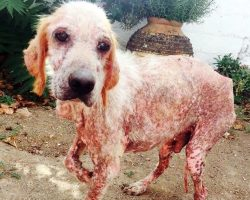 Dog Eaten Alive By Parasites, Stares At Newlyweds & Asks Them To Take His Pain Away