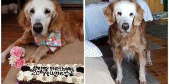 World's Oldest Living Golden Retriever Celebrates Her 20th Birthday
