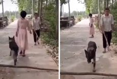 Thoughtful Dog Thinks To Move Fallen Tree Limb For Oncoming Blind Man