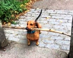 "Tiny Dog Racks His Brains After His Huge ""Stick"" Gets Stuck Between 2 Poles"