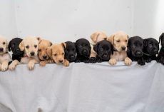 Labrador Gives Birth To One Of The Biggest Litters Ever Recorded For The Breed