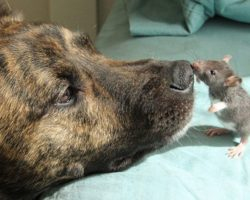 Depressed Rescue Dog Forms Unlikely Friendship With A Rat, Now Completely Inseparable