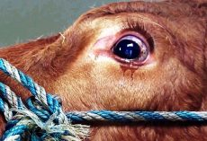 Tears Flow From Cow's Eyes When She Realizes She's Being Sent To Slaughterhouse