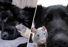 German Shepherd's Thick Fur Makes The Perfect Comforter For His Little Rat Friend
