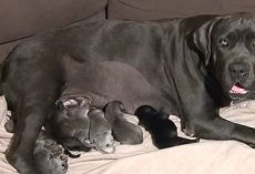Shadow The Mastiff Went Into Labor And Gave Birth To A Record-Setting Litter