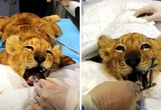 "Circus Starves Lion Cub To Keep Him ""Stunted & Cute"", Then Set Out To Kill Him"