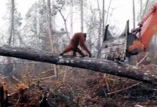 Orangutan Falls As He Desperately Tries To Stop Bulldozer Destroying His Home