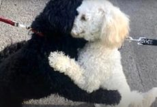 Strangers' Dogs Take To Each Other For A Sibling Hug While Out Walking