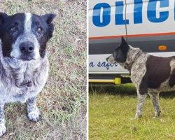 17-Year-Old Partially Blind And Deaf Dog Keeps Missing Toddler Safe For 15 Hours And Leads Rescuers To Her
