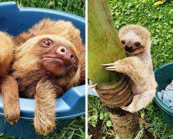 """Orphaned Baby Sloths Are Admitted As """"Preschoolers"""" In Nurturing Rehab Sanctuary"""