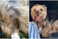 11-Year-Old Yorkie Endures Bite From Rattlesnake To Save His Humans During Hike