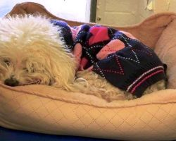 Dog Dumped For A Second Time Clings To His Old Bed And Refuses To Lift His Head