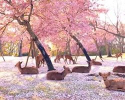 Herd Of Deer Enjoy The Cherry Blossoms In A Park All To Themselves