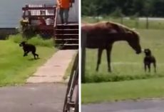 Dog Runs Out Of The House With A Carrot To Take To Her Horse Friend