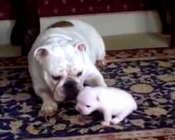 Angry Puppy Rebels As Overprotective Mama Dog Won't Stop Following Him Around