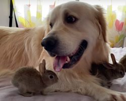 Baby Bunnies Take To Golden Retriever As Their Mom & She's Happy To Play Along