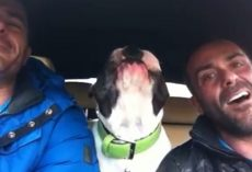 "Man Sings ""You Raise Me Up"" In The Car, But Then His Shy Dog Starts Singing Too"